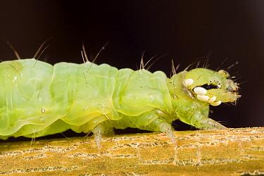 Gamafly (Autographa gamma) caterpillar parasitized by Tachinid Fly (Phorocera obscura), Den Helder, Noord-Holland, Netherlands  -  Bert Pijs/ NIS