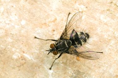 Tachinid Fly (Phorocera obscura), Den Helder, Noord-Holland, Netherlands  -  Bert Pijs/ NIS