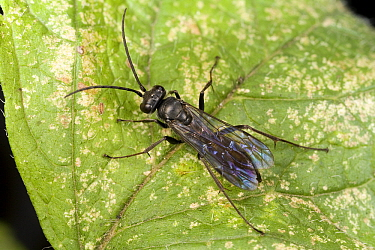 Spider Wasp (Priocnemis carbonarius) female, Den Helder, Noord-Holland, Netherlands  -  Bert Pijs/ NIS