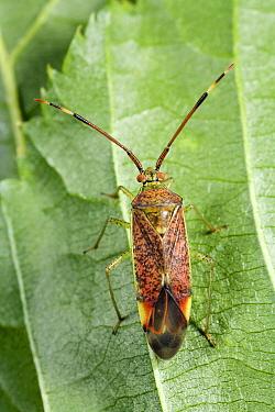 Bug (Pantilius tunicatus), Gulpen, Limburg, Netherlands  -  Bert Pijs/ NIS