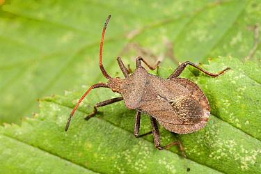 Squash Bug (Coreus marginatus), Bissen, Limburg, Netherlands  -  Bert Pijs/ NIS