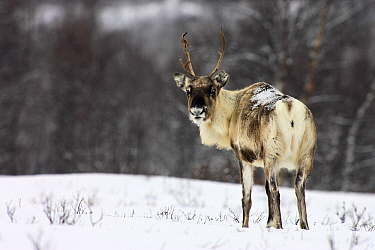 Caribou (Rangifer tarandus), Abisko, Sweden  -  Jasper Doest