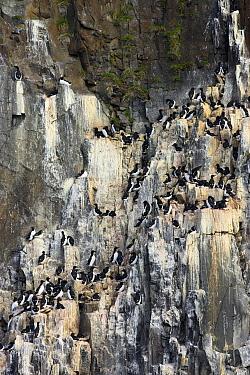 Brunnich's Guillemot (Uria lomvia) colony, Svalbard, Norway  -  Jasper Doest