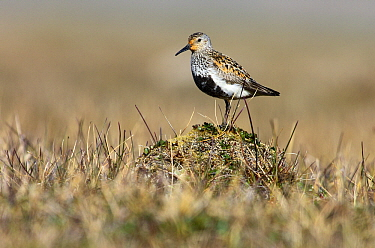 Dunlin (Calidris alpina) in breeding plumage, Svalbard, Norway  -  Jasper Doest