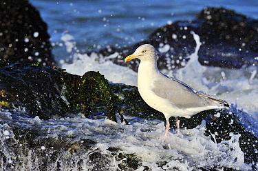 Herring Gull (Larus argentatus) on coastal rocks, South Holland, Netherlands  -  Jasper Doest
