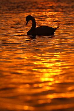 Mute Swan (Cygnus olor), South Holland, Netherlands  -  Jasper Doest