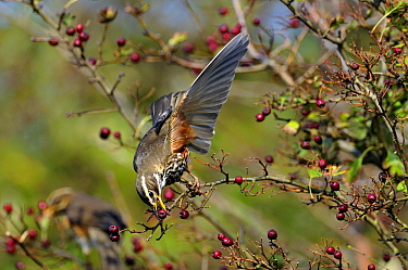 Redwing (Turdus iliacus) feeding on berries, Zeeland, Netherlands  -  Jan Baks/ NiS