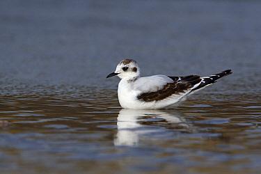 Little Gull (Hydrocoloeus minutus) swimming, Noord-Holland, Netherlands  -  Lesley van Loo/ NiS