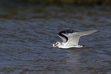 Little Gull (Hydrocoloeus minutus) foraging in the water, Noord-Holland, Netherlands  -  Lesley van Loo/ NiS