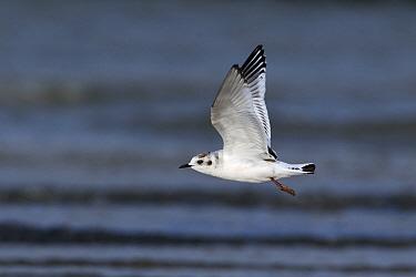 Little Gull (Hydrocoloeus minutus) flying, Noord-Holland, Netherlands  -  Lesley van Loo/ NiS
