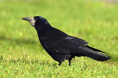 Rook (Corvus frugilegus), Utrecht, Netherlands  -  Lesley van Loo/ NiS