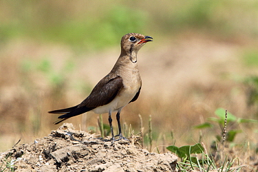 Collared Pratincole (Glareola pratincola) calling, Spain  -  Lesley van Loo/ NiS