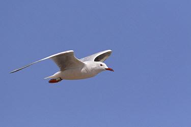 Slender-billed Gull (Larus genei) flying, Spain  -  Lesley van Loo/ NiS