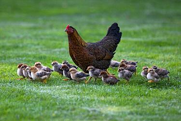 Domestic Chicken (Gallus domesticus) hen with eighteen chicks, Drenthe, Netherlands  -  Rob Reijnen / NiS