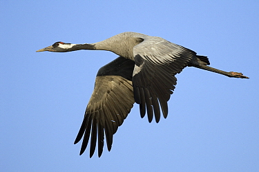 Common Crane (Grus grus) flying, Vechta, Germany  -  Willi Rolfes/ NIS
