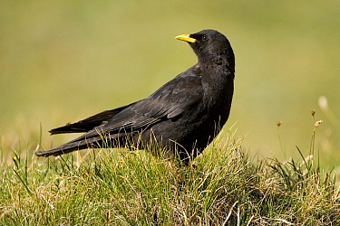 Yellow-billed Chough (Pyrrhocorax graculus), Heiligenblut, Hohe Tauern National Park, Austria  -  Willi Rolfes/ NIS