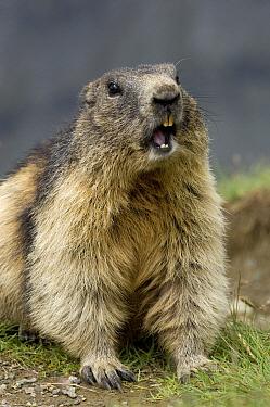Alpine Marmot (Marmota marmota) calling, Heiligenblut, Hohe Tauern National Park, Austria  -  Willi Rolfes/ NIS