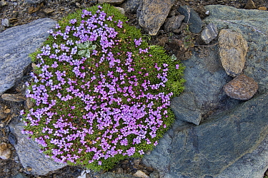 Moss Campion (Silene acaulis) flowering between rocks, Heiligenblut, Hohe Tauern National Park, Austria  -  Willi Rolfes/ NIS