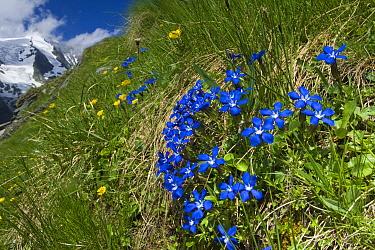 Spring Gentian (Gentiana verna) flowering, Heiligenblut, Hohe Tauern National Park, Austria  -  Willi Rolfes/ NIS