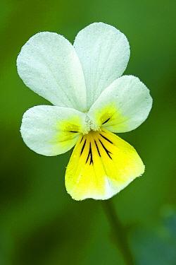 European Field Pansy (Viola arvensis) flower, Heiligenblut, Hohe Tauern National Park, Austria  -  Willi Rolfes/ NIS