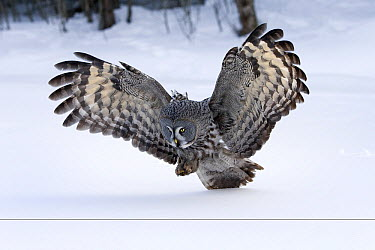 Great Gray Owl (Strix nebulosa) hunting, Finland  -  Rob Reijnen / NiS