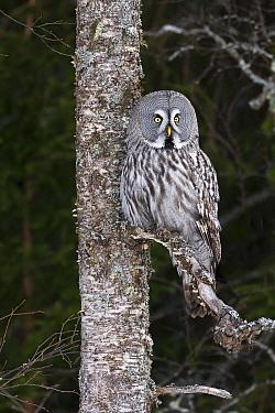 Great Gray Owl (Strix nebulosa), Finland  -  Rob Reijnen / NiS