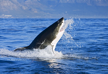 Great White Shark (Carcharodon carcharias) leaping out of water, Seal Island, False Bay, South Africa  -  Stephen Belcher