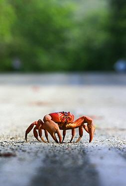 Christmas Island Red Crab (Gecarcoidea natalis) on the road, Christmas Island, Australia  -  Stephen Belcher