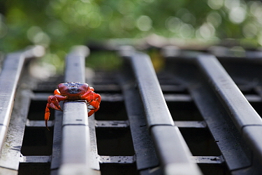 Christmas Island Red Crab (Gecarcoidea natalis) crossing a steel rail which is part of a crab road underpass, Christmas Island, Australia  -  Stephen Belcher
