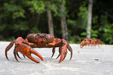 Christmas Island Red Crab (Gecarcoidea natalis) crossing the road during annual migration, Christmas Island, Australia  -  Stephen Belcher