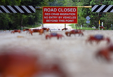 Christmas Island Red Crab (Gecarcoidea natalis) crossing the road with sign in the background, Christmas Island, Australia  -  Stephen Belcher