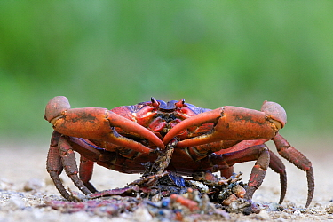 Christmas Island Red Crab (Gecarcoidea natalis) feeding on another crab crushed on the road, Christmas Island, Australia  -  Stephen Belcher