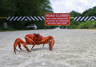 Christmas Island Red Crab (Gecarcoidea natalis) with road sign in the background, Christmas Island, Australia  -  Stephen Belcher