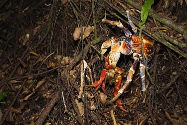 Coconut Crab (Birgus latro) feeding on Christmas Island Red Crab (Gecarcoidea natalis), Christmas Island, Australia  -  Stephen Belcher
