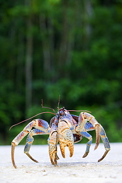 Coconut Crab (Birgus latro) crossing the road, Christmas Island, Australia  -  Stephen Belcher