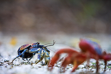 Coconut Crab (Birgus latro) juvenile with Christmas Island Red Crab (Gecarcoidea natalis) in the foreground, Christmas Island, Australia  -  Stephen Belcher