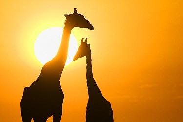 Angolan Giraffe (Giraffa giraffa angolensis) pair silhouetted against a sunset, Etosha National Park, Namibia  -  Stephen Belcher