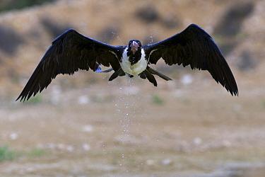Christmas Island Frigatebird (Fregata andrewsi) female flying after skimming the water for a drink, Christmas Island, Australia  -  Stephen Belcher