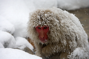 Japanese Macaque (Macaca fuscata) covered with snow, Jigokudani, Joshinetsu Kogen National Park, Japan  -  Stephen Belcher