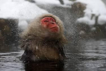 Japanese Macaque (Macaca fuscata) shaking off water, Jigokudani, Joshinetsu Kogen National Park, Japan  -  Stephen Belcher