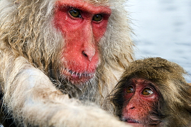 Japanese Macaque (Macaca fuscata) mother with baby, Jigokudani, Joshinetsu Kogen National Park, Japan  -  Stephen Belcher