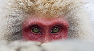 Japanese Macaque (Macaca fuscata), Jigokudani, Joshinetsu Kogen National Park, Japan  -  Stephen Belcher