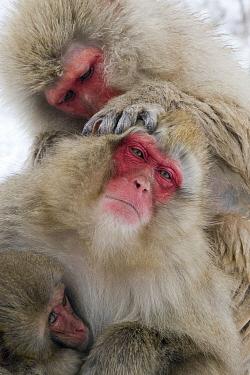 Japanese Macaque (Macaca fuscata) pair grooming, Jigokudani, Joshinetsu Kogen National Park, Japan  -  Stephen Belcher