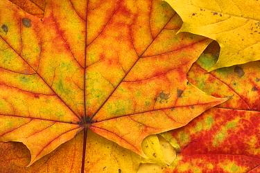 Maple (Acer sp) autumn leaves, Germany  -  Stephen Belcher