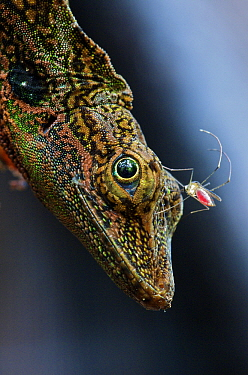 Equatorial Anole (Anolis aequatorialis) with a bloodsucking insect on its head, Andes, Ecuador  -  James Christensen