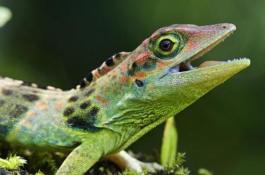 Fraser's Anole (Anolis fraseri) male in defensive posture, Andes, Ecuador  -  James Christensen