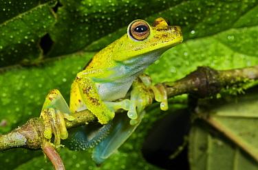 Cloud Forest Tree Frog (Hyla pellucens), Andes, Ecuador  -  James Christensen