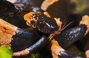 Temporal Snail-eater (Dipsas temporalis), Andes, Ecuador  -  James Christensen