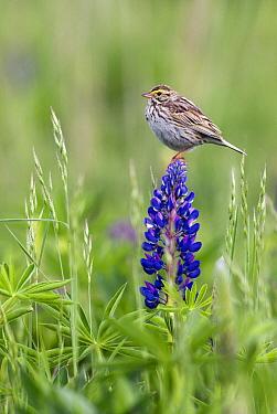 Savannah Sparrow (Passerculus sandwichensis), Vancouver, Canada  -  Jasper Doest