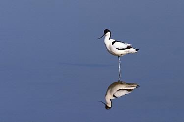 Pied Avocet (Recurvirostra avosetta), Texel, Netherlands  -  Jasper Doest